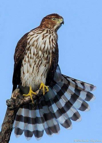 Immature  Coopers Hawk AKA  Chicken Hawk