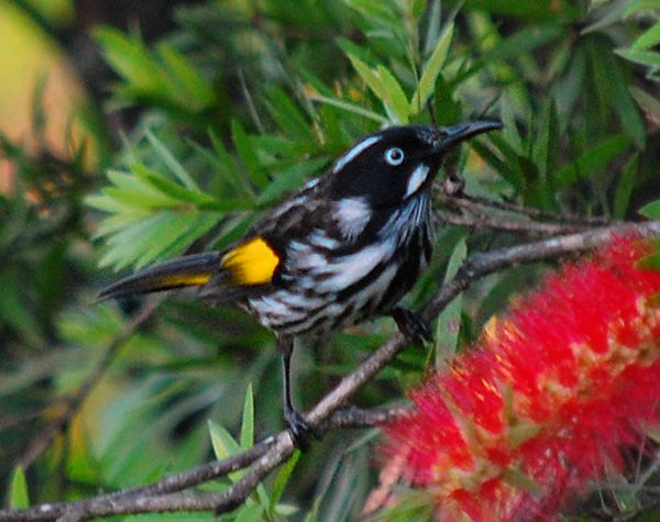 New Holland Honeyeater -  is a common bird. They are small and distinctive in appearance, and often seen in gardens where there are some native nectar-bearing plants such as bottlebrushes.