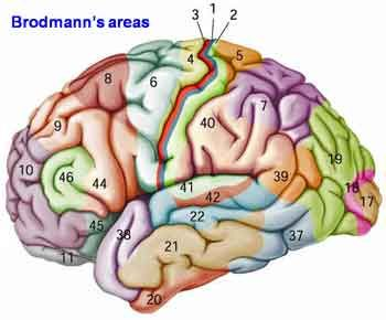 The primary somatosensory and primary motor cortices are distinct cortical areas. According to the structural classification of Brodmann, the primary somatosensory cortex is referred to as Brodmann's areas 1,2 and 3 (BA1, BA2 and BA3). The primary motor cortex is referred to as Brodmann's area 4 (BA4). The primary sensory cortex is sometimes denoted by S1, and primary motor cortex by M1.