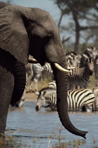 An African elephant (drinks from a water hole shared by a herd of plains zebras/ Savuti Region, Chobe National Park, Botswana