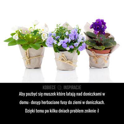 Aby pozbyć się muszek które latają nad doniczkami w domu – dosyp herbaciane fusy do ziemi w doniczkach. Dzięki temu ...
