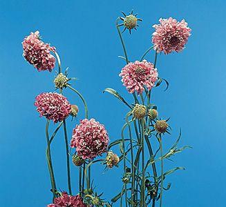 Pincushion flower - Scabiosa atropurpurea