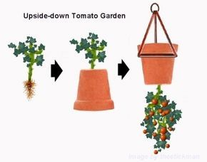 Upside-down-Terrakotta-Blumentopf mit einer Tomatenpflanze eingeführt Wurzelende zuerst durch die untere Drainageloch und hängte den Kopf