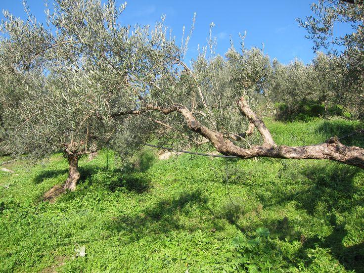 K olive trees