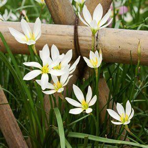 ZEPHYRANTHES WHITE - Garden Express