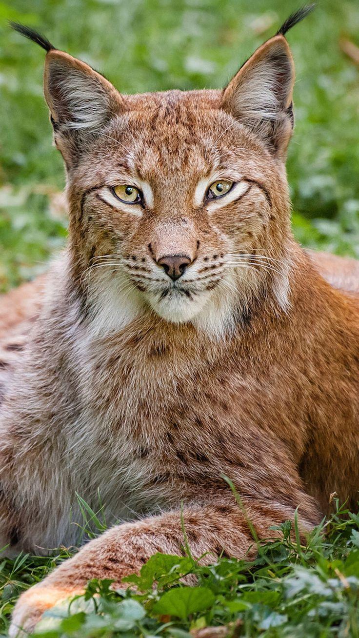 lynx, grass, big cat, carnivore, lie                                                                                                                                                                                 More