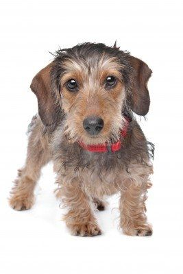 "Wire-haired Dachshund  LOOKS JUST LIKE ""SHORTIE"" LOOKED.  BEST DOG EVER!!!"