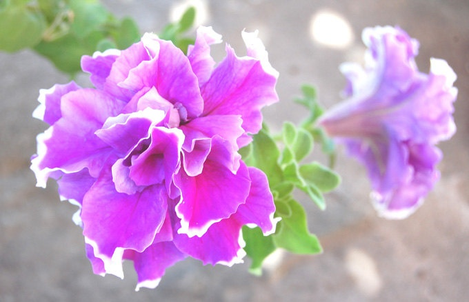 Purple Petunias Fine Art Photography , Petunia Flower , Floral wall art , Home decor , Summer - Frizzy  Petunias , 8 x 10. $23.00, via Etsy.