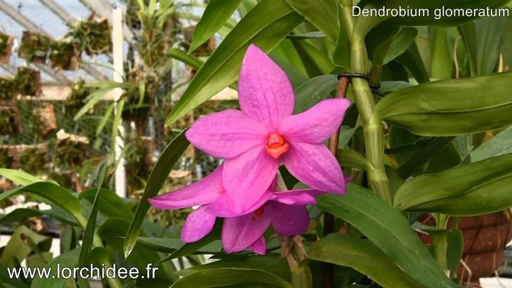 Dendrobium glomeratum - Vacherot et Lecoufle - Lorchidee.fr