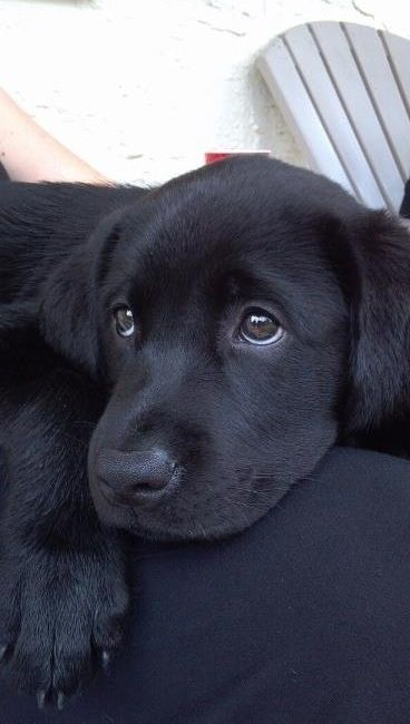 black lab puppy by StarMeKitten