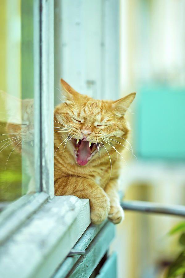 Yawning Ginger Cat Photograph by Oksana Ariskina  #OksanaAriskina #OksanaAriskinaFineArtPhotography #Artworks #FineArtPhotography #HomeDecor #FineArtPrints #Cat #PrintsForSale #Portrait #Yawn #Aqua #Funny#GingerCat