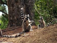 Ring-tailed lemur.  Live in the dry forests of southern and western Madagascar feeding on fruit, flowers, leaves and bark.  Mostly a terrestrial species.