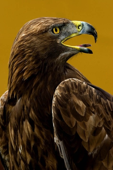 Golden Eagle - Spotted in Colorado 5/2013 and Minnesota 10/2013