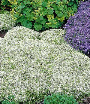 Weißer Polsterthymian,3 Pflanzen