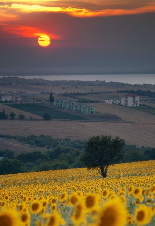 Sunflowers in Tuscany, Italy: to remind me of the ones that my Grandpa grew in Webbwood ON