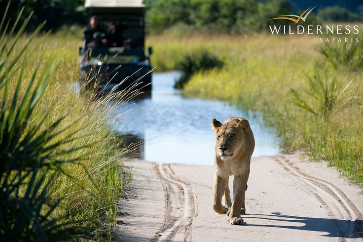 Jao Camp - The lion prides in this area of the Okavango Delta have been extensively studied in recent years, thereby building up a more intimate knowledge of their behaviour. #Safari #Africa #Botswana #WildernessSafaris