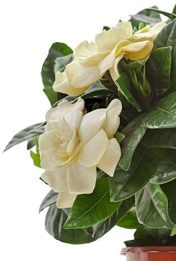 Gardenia - Keikarinkukka hoito-ohjeet