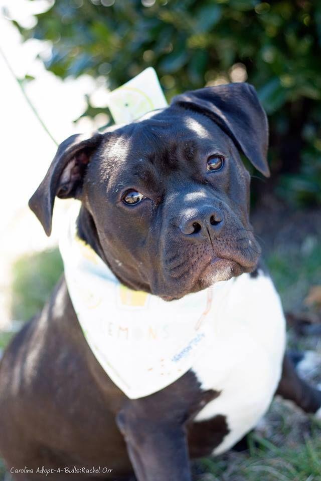Adopt Spike On Petfinder Dog Adoption Pet Adoption Animals