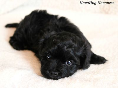 <3 Beautiful black havanese puppy. <3   www.havahughavanese.com