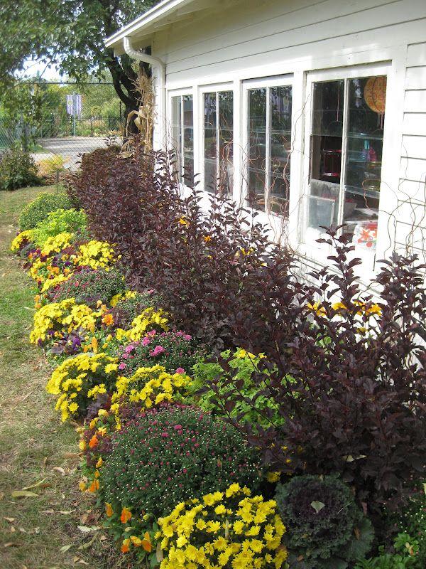 ninebark shrub