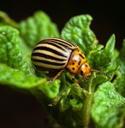 7 Plants to Help Control Potato Bugs (and some other major garden pests). From Tipnut.com. Includes companion plantings/natural deterrents, getting rid of the bugs, and making homemade repellent teas or infusions.