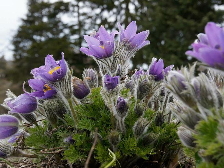 anemone kangas - Google-haku