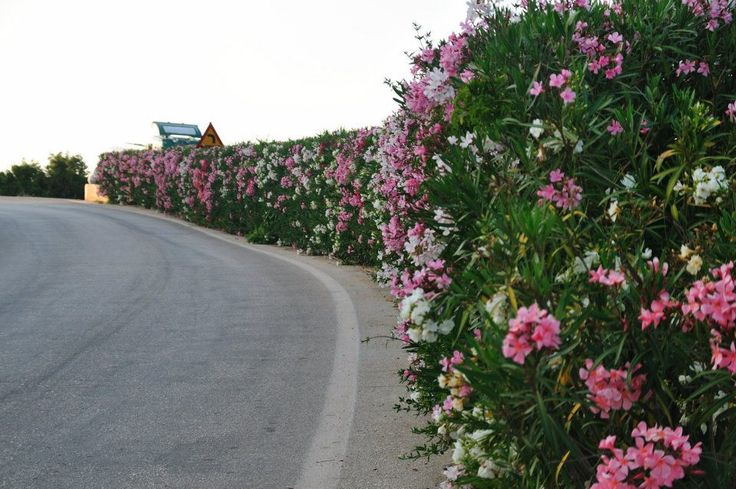 Flowering hedge kefalonia oleander gardening ideas for Garden landscaping ideas for large gardens