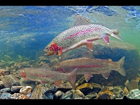 How to catch trout in stocked lakes & ponds!!! - YouTube