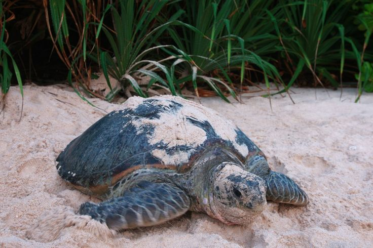 From May to October, turtles nest on beaches around the Islands. Six Senses Con Dao keeps track of where the turtles nest and arranges for guests to experience the nesting and the hatching.