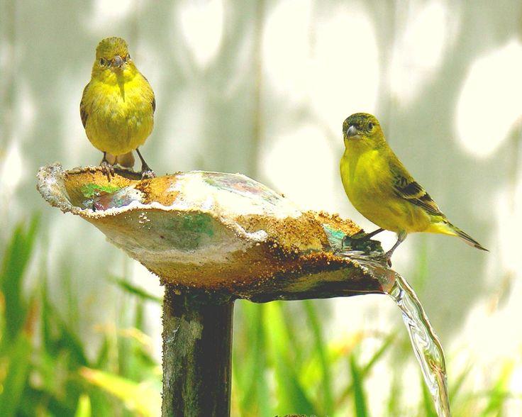 Wild Yellow Canary Bird I enjoy watching the peaceful