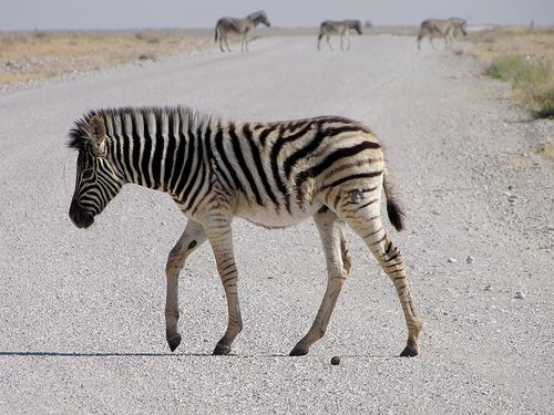 """""""Is That The Right Direction?"""" Zebra cub, Namibia"""
