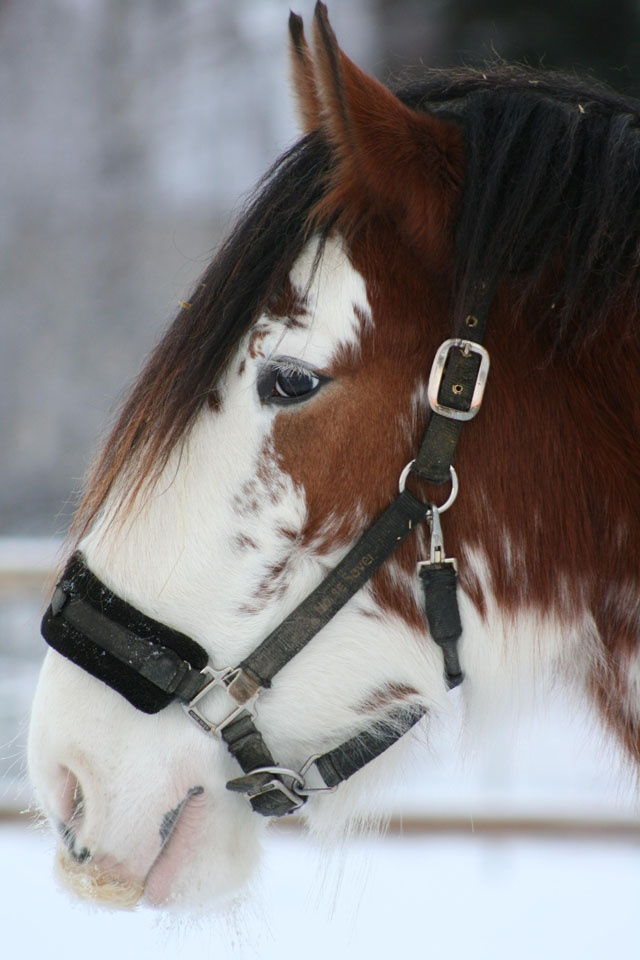 Clydesdale mare... which is SO pretty!