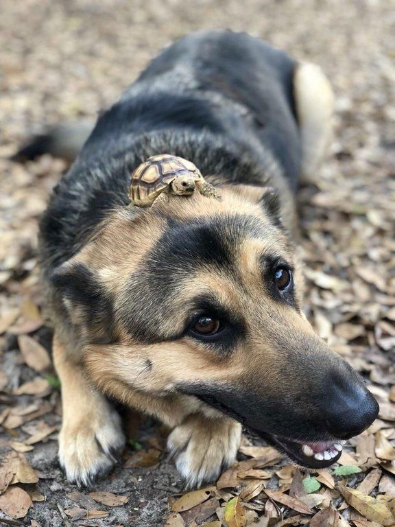 Good Doggo Bro Ing With A V Smol Turtle Cute Funny Animals Cute Animals Funny Animals