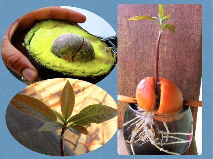Como Plantar Caroço de Abacate!