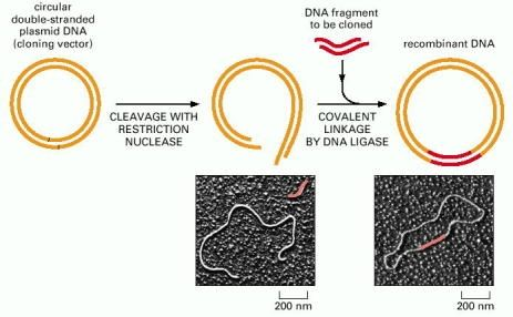 Figure 8-30. The insertion of a DNA fragment into a bacterial plasmid with the enzyme DNA ligase.