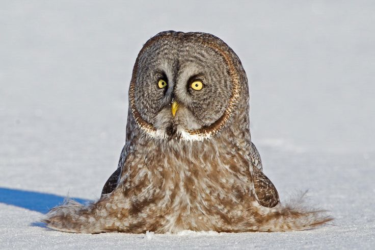 Great Gray Owl. Photo: Robert Palmer/Audubon Photography Awards