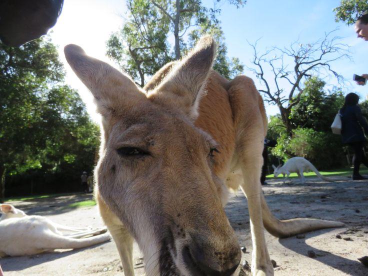 Kangaroo Selfie http://ift.tt/2kqJ8UK
