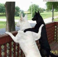 Buddies!!!Humor Pictures, Best Friends, Old Dogs, Funny Humor, Black Dogs, Black White, Funny Stuff, German Shepherd, Animal Photos