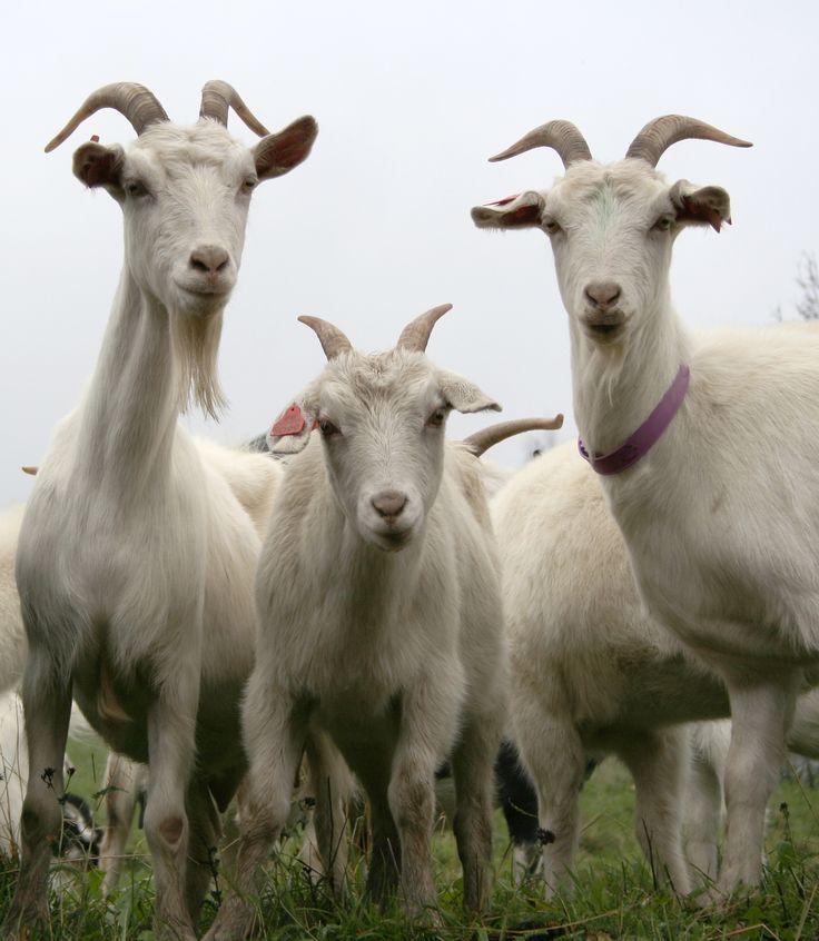 778 Best Goat Farm Images On Pinterest