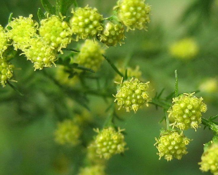 Φυτό της Κρήτης που θεραπεύει τον καρκίνο σε 12 ώρες