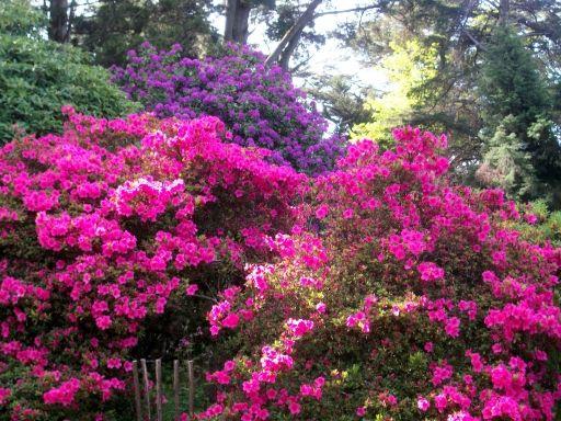 Azalea fucsia y rododendro rboles ornamentales pinterest - Rododendro arbol ...