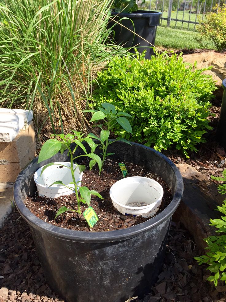 Container Gardening, Bonnie Plants   Jalapeno Hot Pepper, Recycled Tree Tub,  Watering With