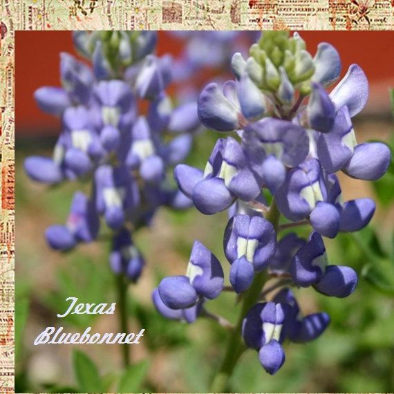 VikkiVines~Historical TEXAS BLUEBONNET ~ Scented State Flower of Texas. Easy To Grow ~ Lupinus Texensis 25 SEEDS! CVGG57