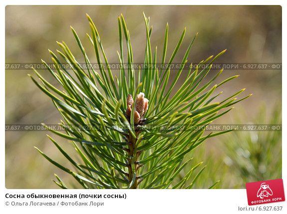 Сосна обыкновенная (почки сосны) © Ольга Логачева / Фотобанк Лори