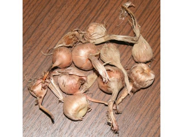 Saffron bulbs  for sale ,   Saffron-rocus sativus is a genus of flowering plants in the iris family comprising 90 species of perennials growing from corms  For More details: http://www.agribazaar.co/index.php?page=item&id=2441