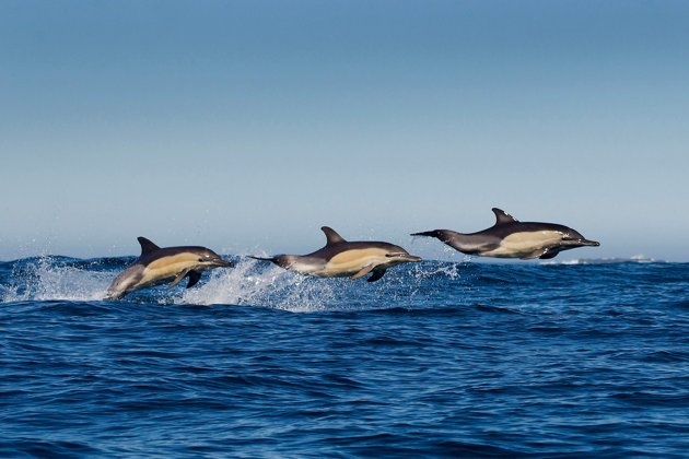 Wildlife photographer Grant Atkinson could not believe his luck when he spotted three dolphins jumping out of the water off the western cape of South Africa (Caters)