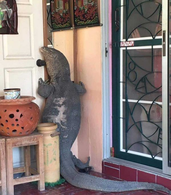 Giant Monitor Lizard Knocks on Front Door of House - Neatorama