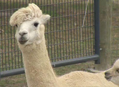 WBOC's story on Outstanding Dreams Alpaca Farm in Caroline County, MD.