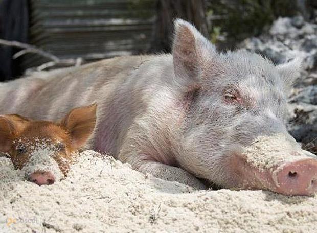 Свиной остров – #Багамские_Острова (#BS) Немного позитива утром в понедельник не помешает, поэтому рассказываем об одном из Багамских островов, известном как Свиной. Основными его обитателями являются совершенно очаровательные хрюшки-пловцы, весьма дружелюбные по отношению к человеку, особенно к человеку с едой.  http://ru.esosedi.org/BS/places/1000120226/svinoy_ostrov/