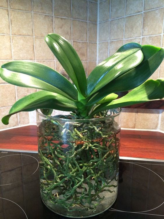 Phal in water culture.. - Page 4 - Orchid Board - Most Complete Orchid Forum on the web !